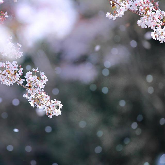 花吹雪を撮るのは難しい、、